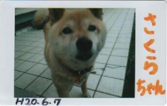 20080607sakura